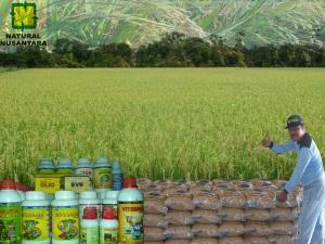 sawah, benih padi dan nasaku