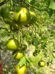 Jeruk kota besi milik pak Bambang