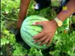 semangka 1
