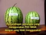 semangka turasman1