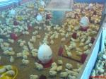 anak ayam dan pemanas arang kayu